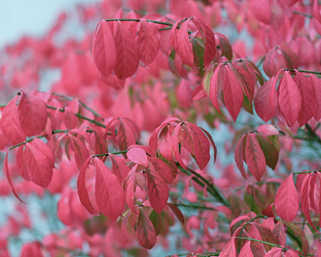 Hot trees and shrubs for autumn colour (3/6)